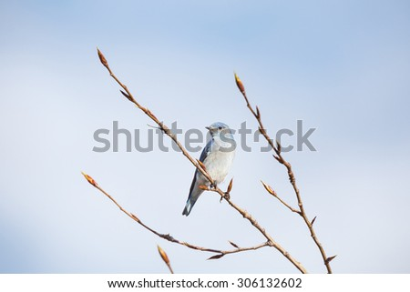 Male Mountain Bluebird in Vancouver Canada - stock photo