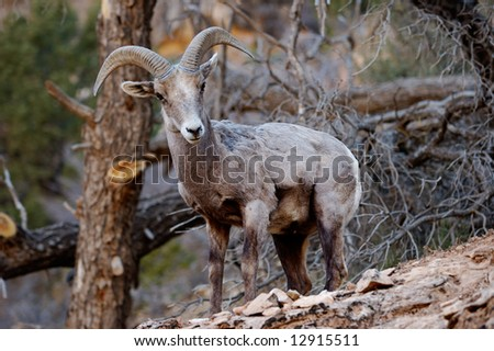 Male mountain goat in the wild, Grand Canyon National Park, Arizona