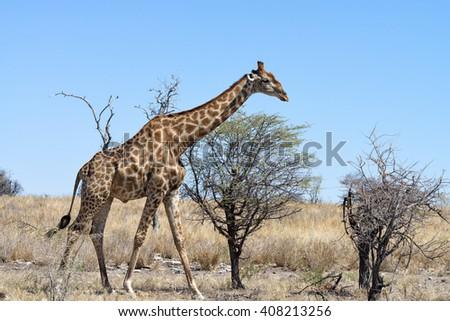 Male Namibian Giraffe (Giraffa camelopardalis angolensis) walking in Etosha National Park, Namibia - stock photo