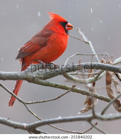 Male Northern Cardinal (Cardinalis cardinalis) - stock photo