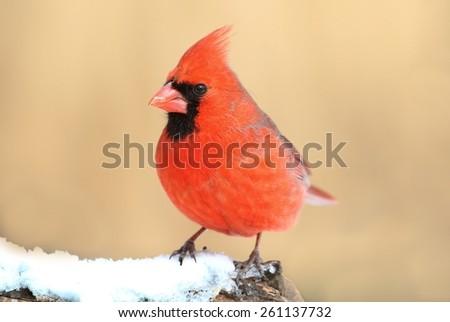 Male Northern Cardinal (cardinalis cardinalis) in a snowy scene - stock photo