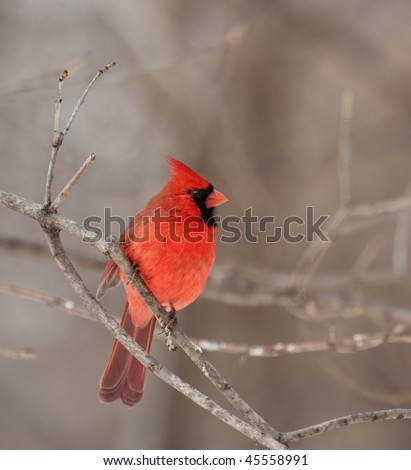 Male northern cardinal (Cardinalis cardinalis) perched on a tree branch