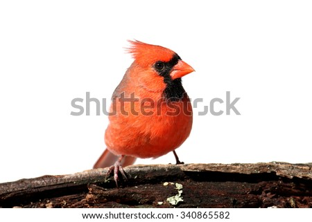Male Northern Cardinal (Cardinalis)  Isolated on a white background - stock photo