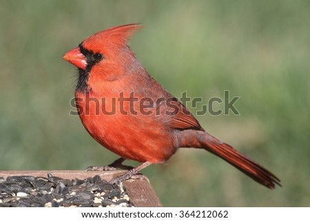 Male Northern Cardinal (cardinalis) on a feeder with a green background - stock photo