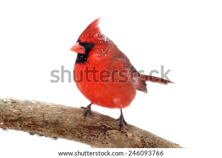 Male Northern Cardinal (Cardinalis) with snow and ice Isolated on a white background