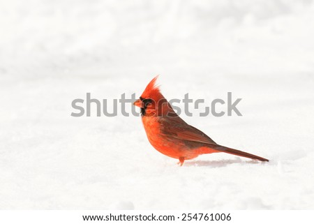 Male northern cardinal in the snow following a heavy snowstorm in winter - stock photo