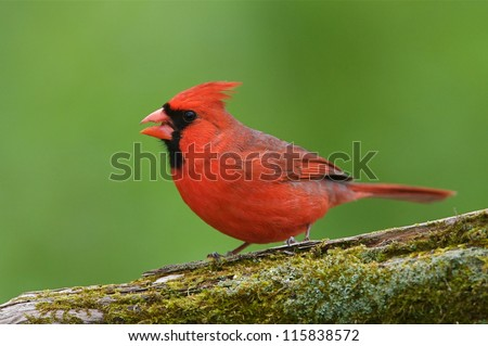 Male Northern Cardinal on moss covered log with natural green woodland background - stock photo