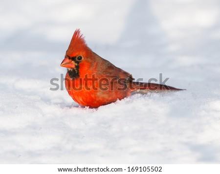 Male Northern Cardinal on Snow - stock photo