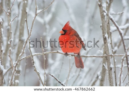 Male northern cardinal on the branch of a shrub during a snowfall.