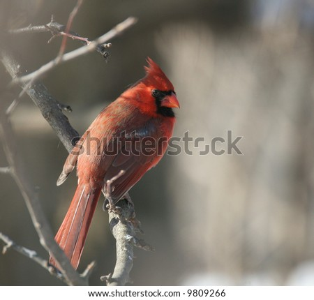 Male Northern Cardinal on Tree