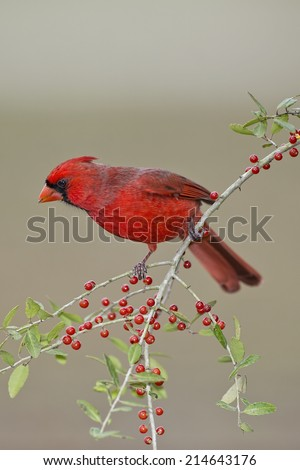Male Northern Cardinal on Weeping Yaupon Branch - stock photo