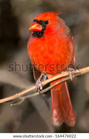 Male Northern Cardinal perched on a branch. - stock photo
