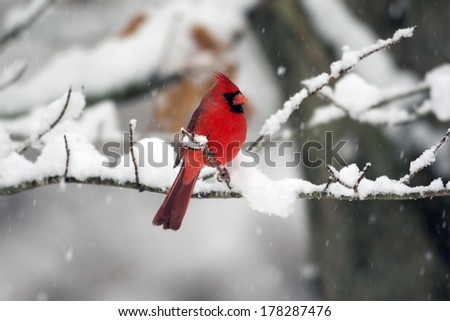 Male northern cardinal perched on a branch following a heavy winter snowstorm - stock photo