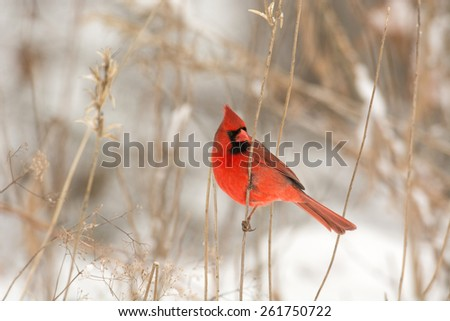 Male northern cardinal perched on a branch following a winter storm - stock photo