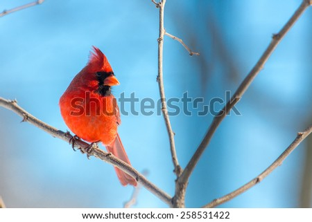 Male Northern Cardinal perched on a limb in Lexington, Kentucky during Winter Storm Thor. - stock photo