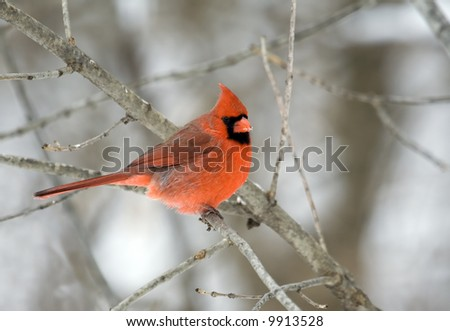 Male northern cardinal perched on a tree branch