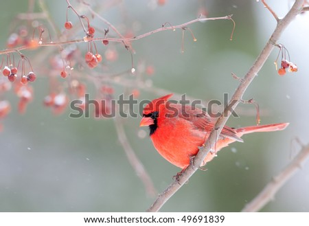 Male northern cardinal perched on branch in snowstorm - stock photo