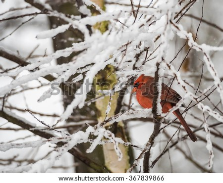 Male Northern Cardinal perched on snow covered branch in winter. - stock photo