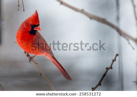 Male Northern Cardinals perched on a limb during Winter Storm Thor.