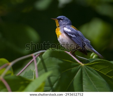 Male Northern Parula (Setophaga americana) warbler sitting on a branch at Reelfoot Lake in Tennessee - stock photo