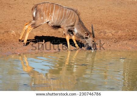 Male Nyala antelope (Tragelaphus angasii) drinking water, Mkuze game reserve, South Africa - stock photo