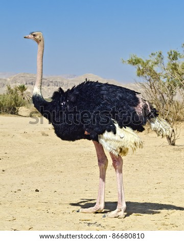 Male of African ostrich (Struthio camelus) in the Negev desert, Hai Bar national reservation, Israel