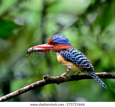 Male of Banded Kingfisher, the beautiful blue with brown head and red lips bird carrying insect as food to feed its chicks while perching on the branch