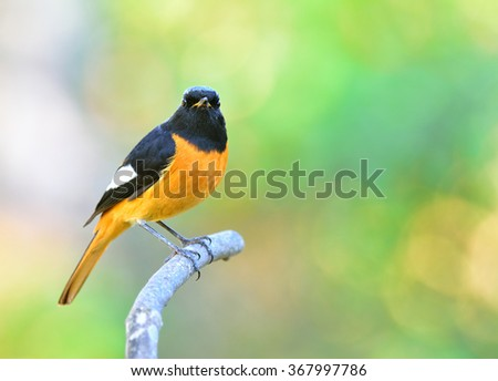 Male of Daurian Redstart (Phoenicurus auroreus) the beautiful bird with black wings and face  top of silver head and orange belly perching on the branch with nice green and orange blur background - stock photo