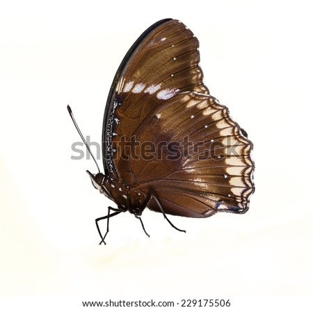 Male of great eggfly butterfly on white background - stock photo