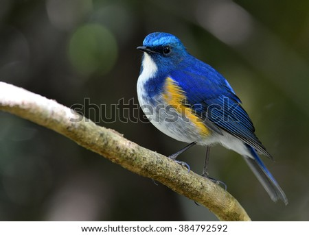 Male of Himalayan Bluetail (tarsiger rufilatus) the beautiful blue bird perching on the stick with bokeh background, exotic nature