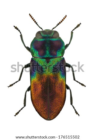 male of jewel beetle Anthaxia dimidiata isolated on white background - stock photo