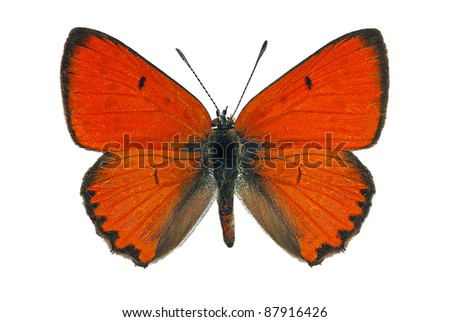 Male of Large Copper (Lycaena dispar), endangered butterfly protected in Europe - stock photo