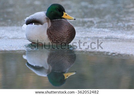 Male of Mallard, Anas platyrhynchos on ice with reflection in water - stock photo