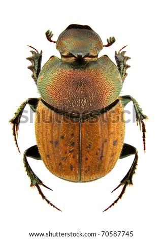 Male of Onthophagus coenobita isolated on white background - stock photo