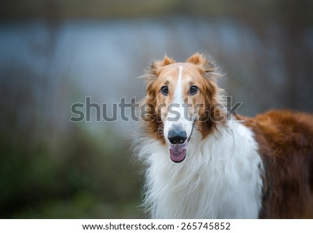 Male of purebred russian borzoi dog in gray weather against the lake - stock photo