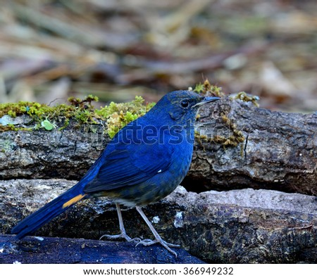 Male of White-bellied Redstart (Hodgsonius phaenicuroides) the beautiful blue bird standing on the burned log with fully details from head to toes - stock photo