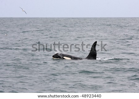 Male orca or killer whale, Iceland, Atlantic Ocean - stock photo