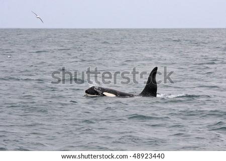 Male orca or killer whale, Iceland, Atlantic Ocean - stock photo
