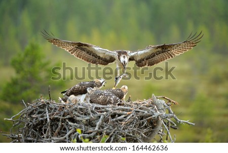 Male Osprey brought the fish for young osprey birds - stock photo