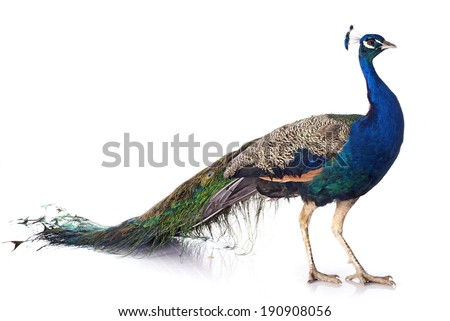 male peacock in front of white background - stock photo