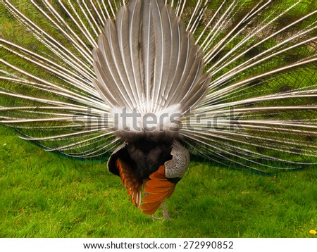 Male peacock in the garden, rearview from behind - stock photo