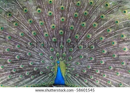 Male peacock (Pavo cristatus) - stock photo
