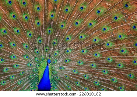 Male Peafowl or Peacock. Best known for the male's extravagant eye-spotted tail covert feathers - stock photo