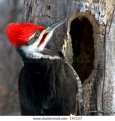Male Pileated Woodpecker near hole. - stock photo