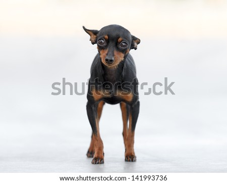 Male Pincher Toy Dog