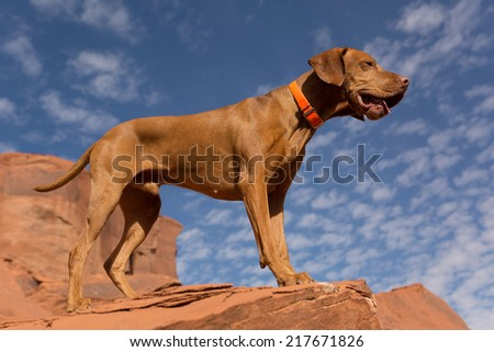 male pointer dog standing outdoors on the top of red cliff - stock photo