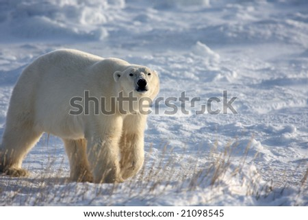 Male polar bear sniffing the air while walking on the arctic ice pack