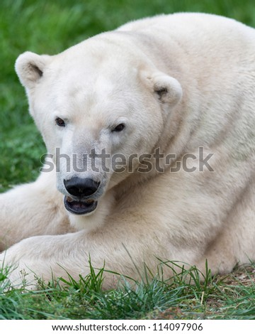Male polar bear (Ursus maritimus) closeup