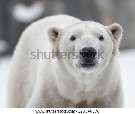 Male polar bear (Ursus maritimus) in the snow - stock photo
