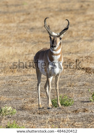 Male pronghorn (Antilocapra americana) in the highland prairie, Grand Teton National Park, Wyoming, USA